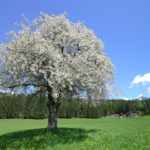 beautiful holiday environment with flowering meadows & cherry tree, Holiday House Astrid